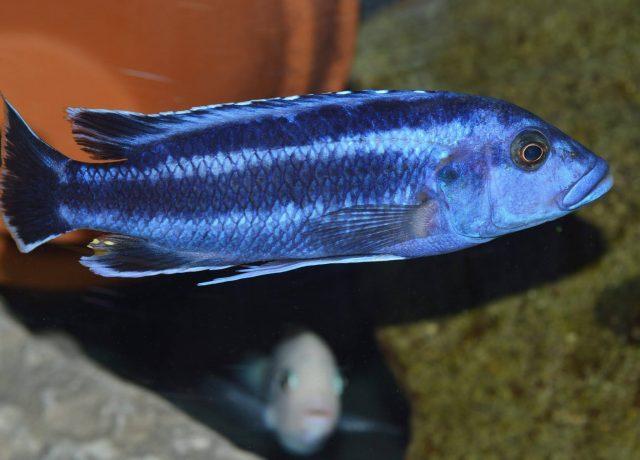 Melanochromis kaskazini (samec)