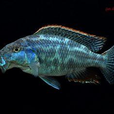 Nimbochromis linni
