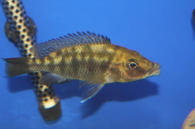 Protomelas sp. 'mbenji thick-lip' (samice)