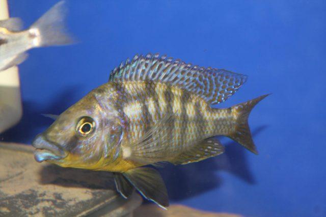 Protomelas sp. 'mbenji thick-lip' (samec)
