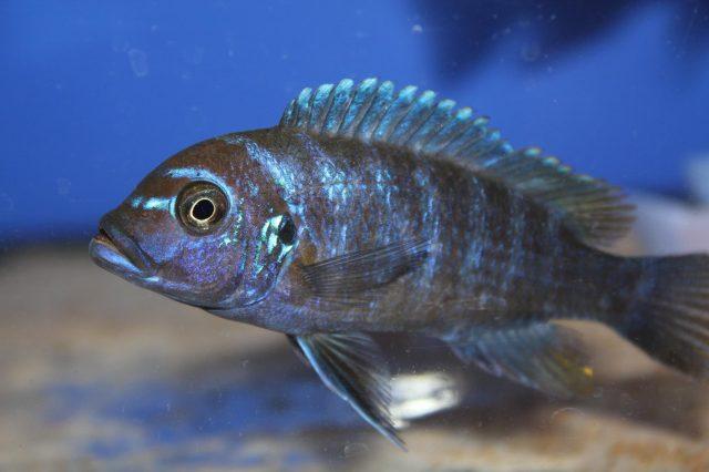 Metriaclima fainzilberi Luwino Reef (samice-female)
