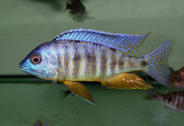 Placidochromis sp. 'electra blackfin' (samec)