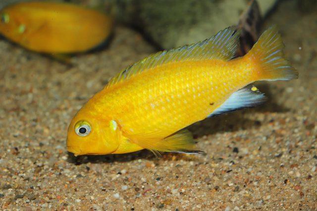 Tropheops macrophthalmus Makonde(samec)
