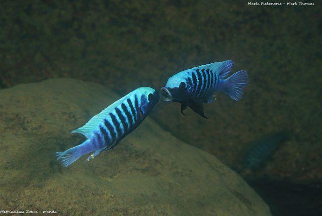 Metriaclima zebra (10)
