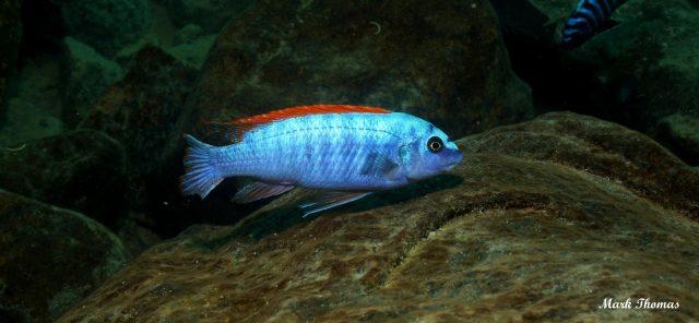 Labeotropheus trewavasae Mitande (samec)