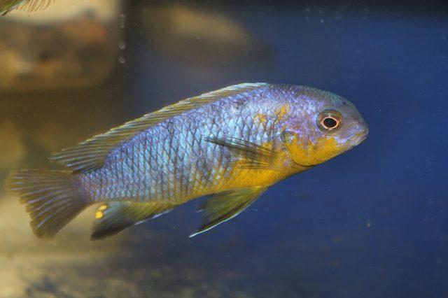 Tropheops sp. 'mauve yellow' Mara Rock (samec)