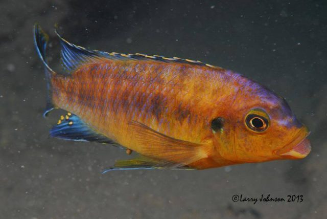 Petrotilapia sp. 'mumbo yellow'