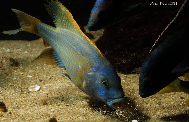 Buccochromis rhoadesiMdoka Reef (samec)