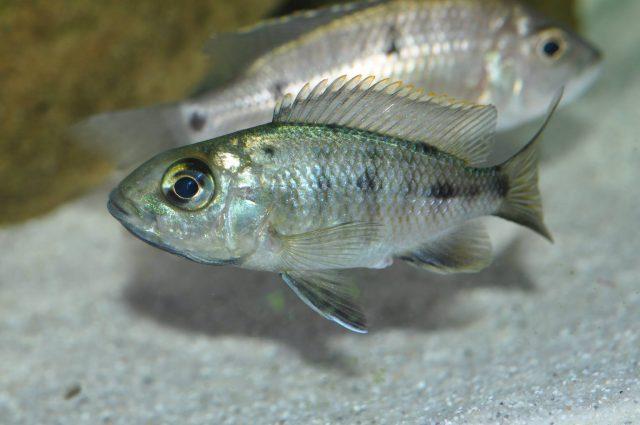 Protomelas sp. 'spilonotus tanzania' (samice)
