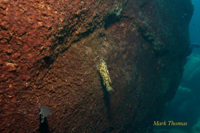 Labeotropheus trewavasae (OB samice)
