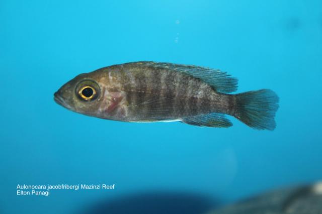 Aulonocara jacobfribergi Mazinzi Reef (samice)
