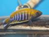 Aulonocara jacobfribergi Mazinzi Reef