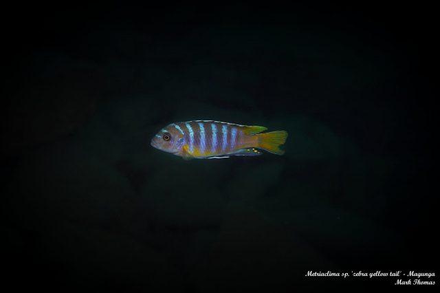 Metriaclima sp. 'zebra yellow tail' Magunga (samec)