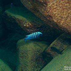 Metriaclima zebra (18)