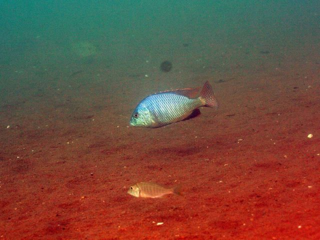 Trematocranus placodon Malopa