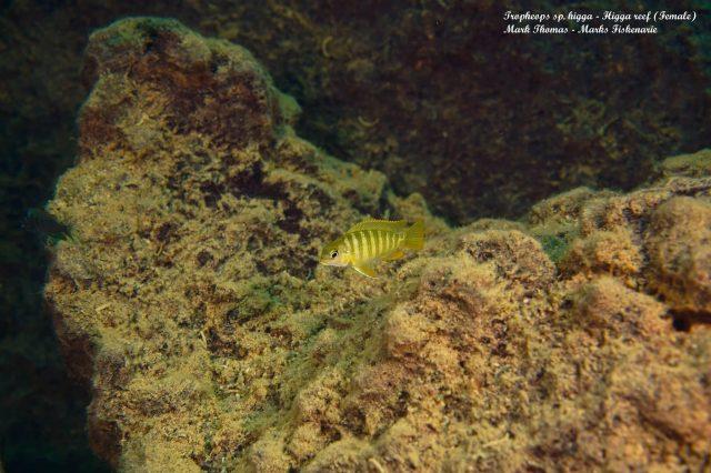Tropheops sp. 'higga' Higga Reef (samice)