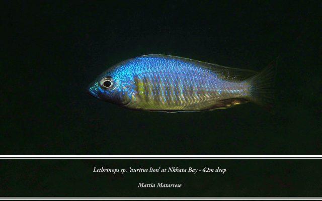 Lethrinops sp. 'auritus'