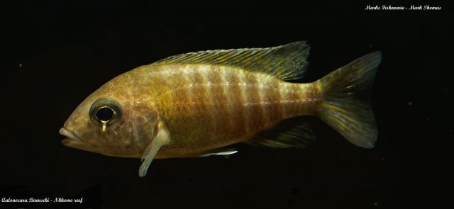 Aulonocara baenschi Nkhomo Reef (samice)