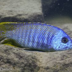 Otopharynx sp. 'heterodon'
