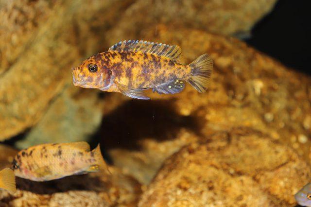 Metriaclima estherae Minos Reef (OB samice)