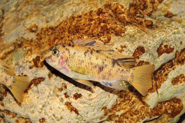Labeotropheus fuelleborni (samice-female)