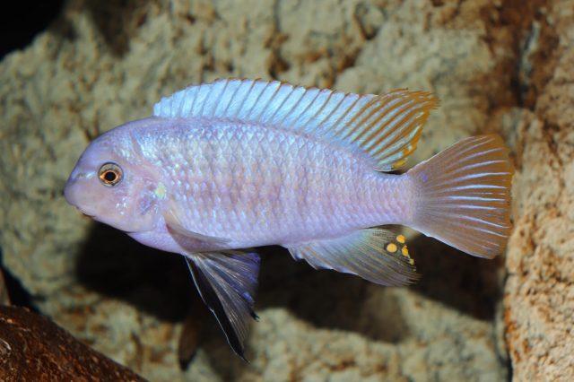 Labeotropheus fuelleborni (samec-male)
