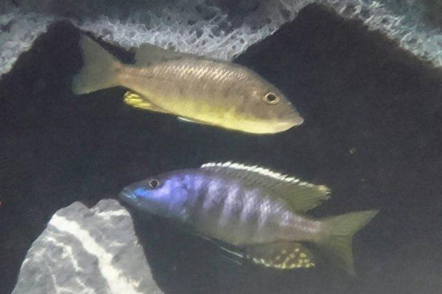 Sciaenochromis ahli (samec a samice)