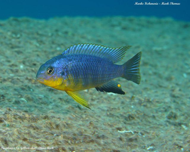 Tropheops sp. 'yellow chin' Chiwi Rock(samec)