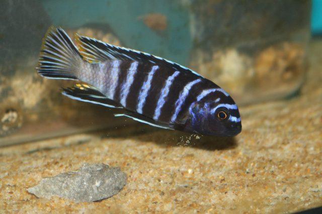 Tropheops sp. 'elongatus'