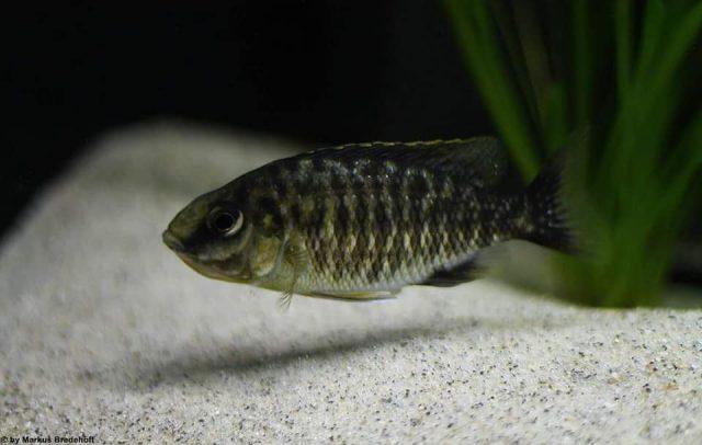 Protomelas sp. 'steveni imperial' (samice)