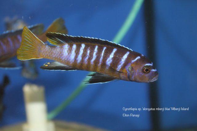 Cynotilapia sp. 'elongatus'