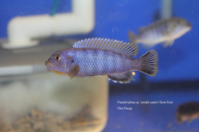 Pseudotropheus sp. 'variable eastern' Gome Rock