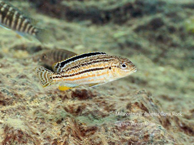 Melanochromis dialeptos Gome Rock (samice)
