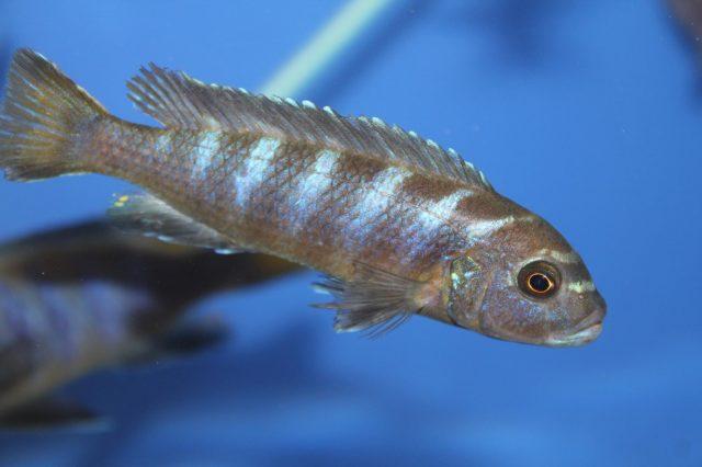 Metriaclima sp. 'elongatus linganjala' (samice)