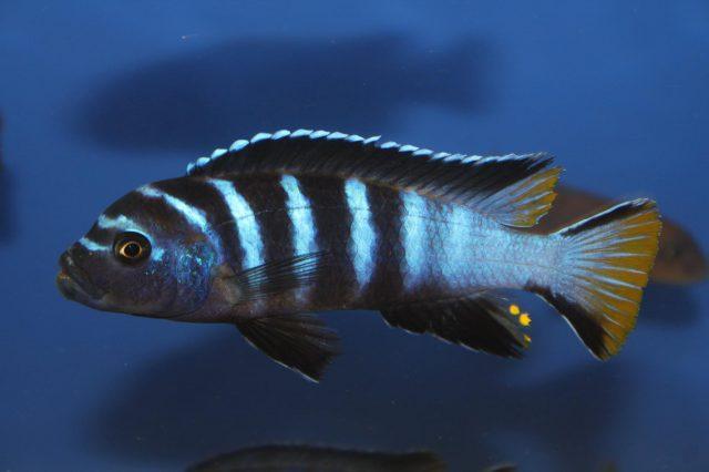 Metriaclima sp. 'elongatus linganjala' (samec)