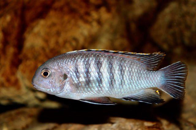 Tropheops sp. 'chilumba'