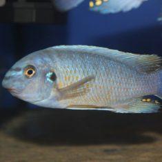 Labeotropheus fuelleborni (16)