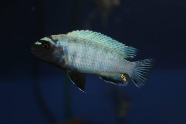 Pseudotropheus sp. 'polit' (samec)