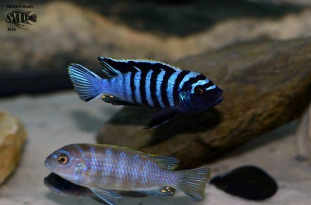 Cynotilapia zebroides Hai Reef (samec)