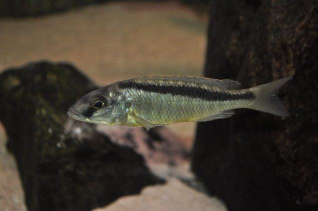 Mylochromis formosus (samice)