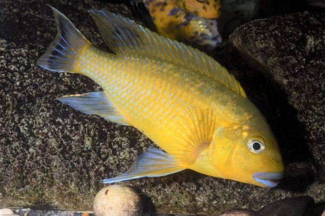 Pseudotropheus sp. 'williamsi north' (samec)