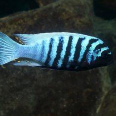 Metriaclima zebra (13)