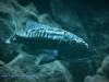 Tyrannochromis macrostoma Katale Island