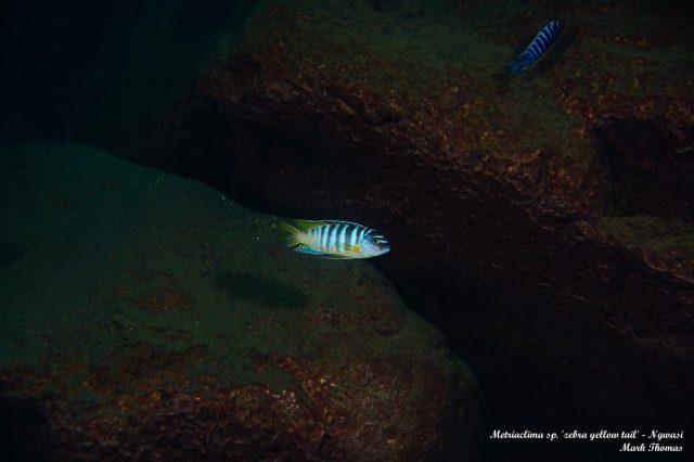 Metriaclima sp. 'zebra yellow tail' Ngwazi