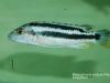 Melanochromis kaskazini Manda (samice)