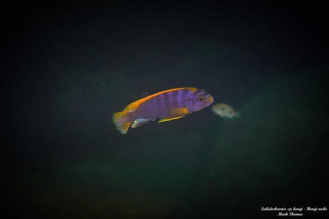 Labidochromis sp. ,hongi' Hongi Rocks