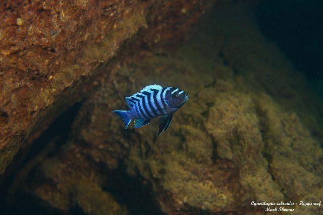 Cynotilapia zebroides Higga Reef