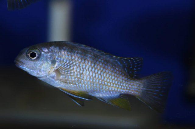 Tropheops sp. 'red cheek' Chizumulu Island (samice)
