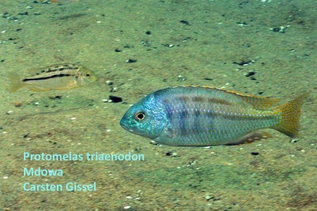 Protomelas triaenodon