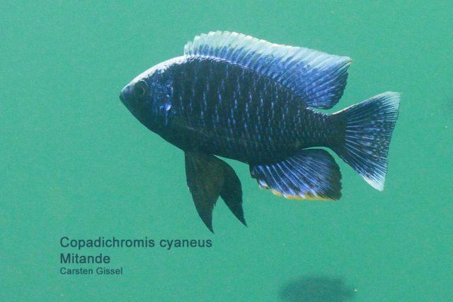 Copadichromis cyaneus Mitande Reef